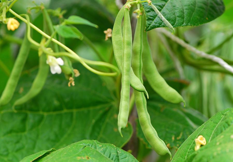 Green Beans Photograph by Brytta