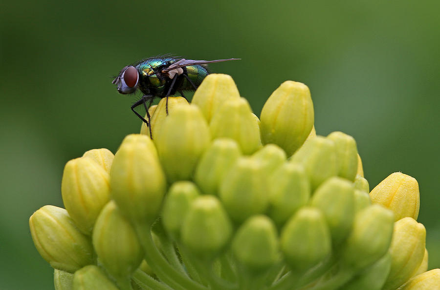 Fly Photograph - Green Bottle Fly Macro by Juergen Roth