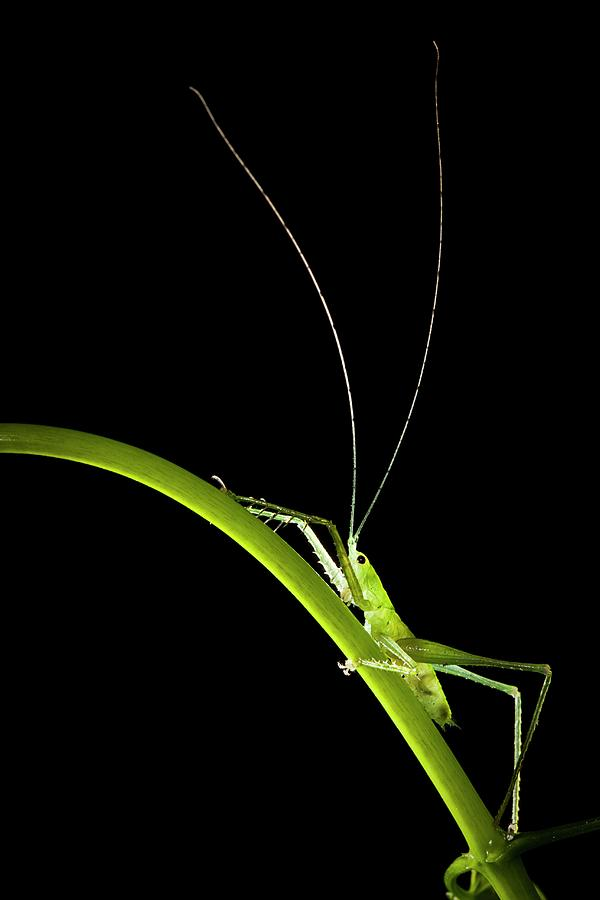 Animal Photograph - Green Bush Cricket by Alex Hyde