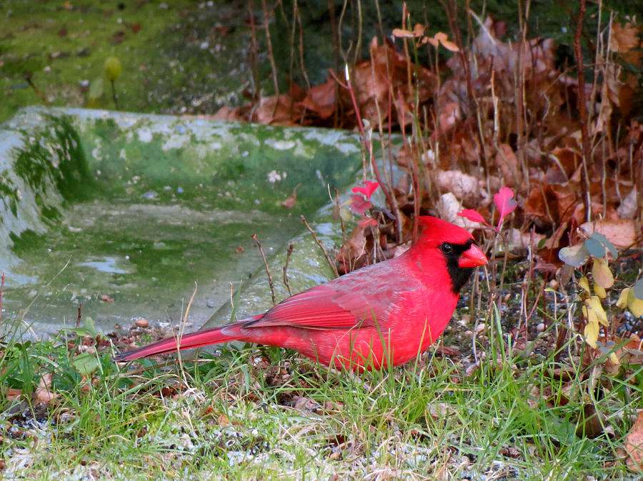 Cardinal Photograph - Green Christmas by Azthet Photography