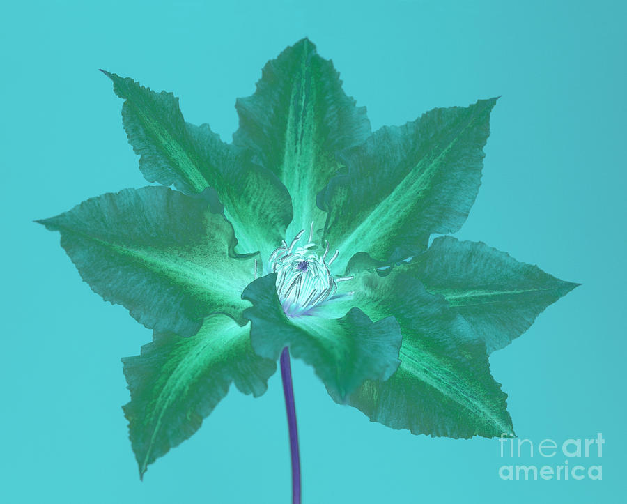 Clematis Digital Art - Green Clematis On Turquoise by Rosemary Calvert