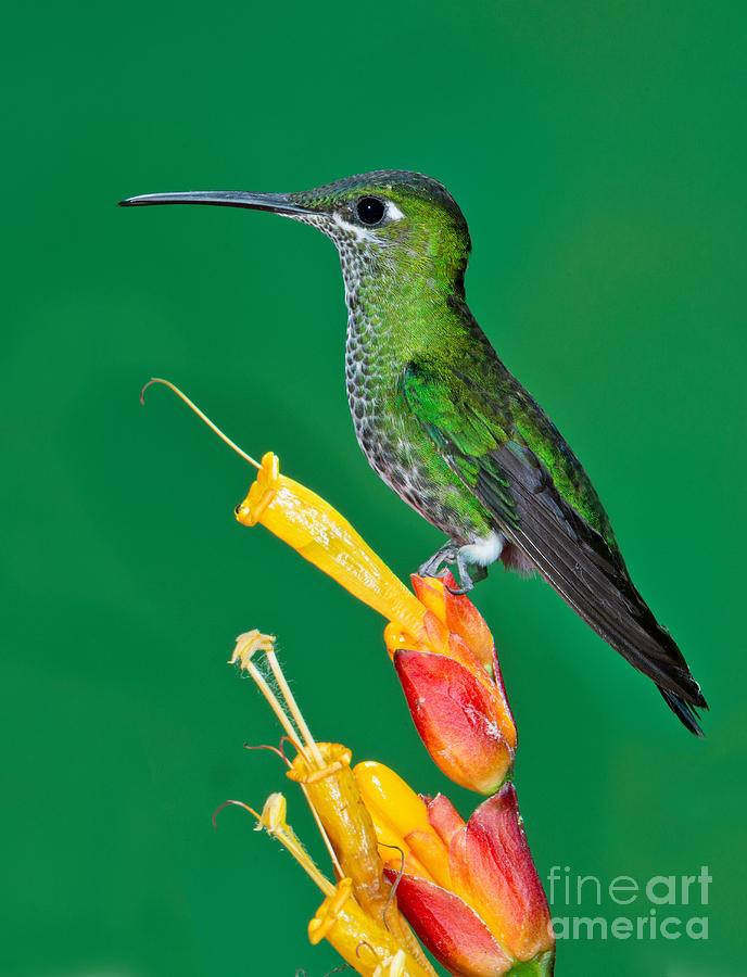 Green-crowned Brilliant Photograph - Green-crowned Brilliant by Anthony Mercieca