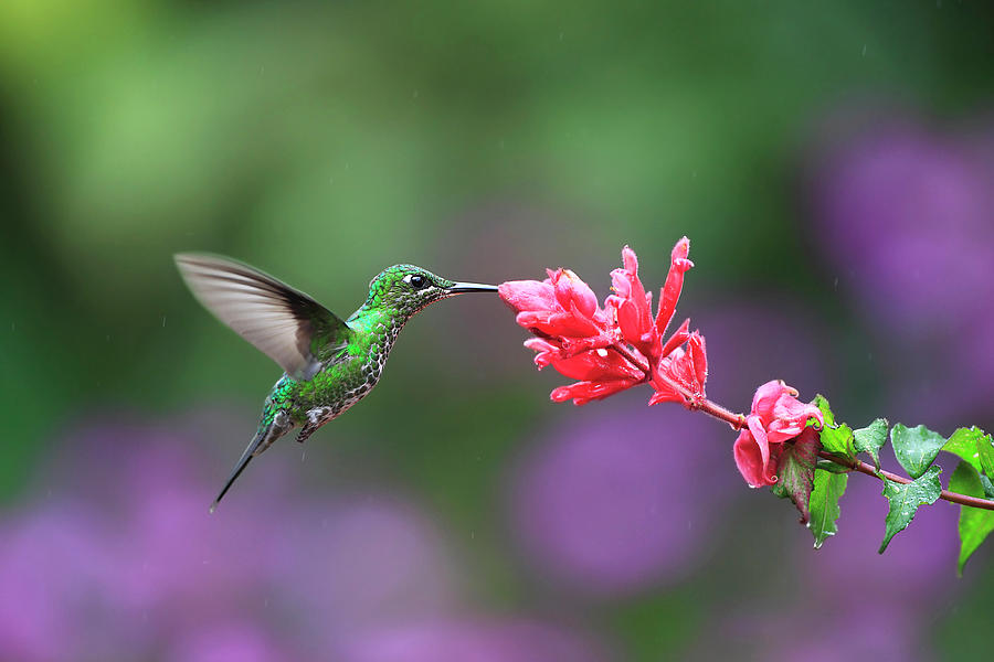 Green-crowned Brilliant Feeding From Photograph by Mlorenzphotography