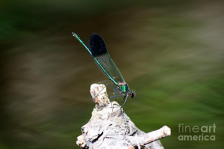 Damselfly Photograph - Green Damselfly  by Neal Eslinger