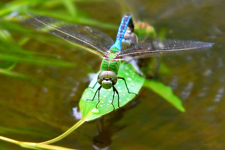 Dragonfly Photograph - Green Darner Dragonfly by Christina Rollo