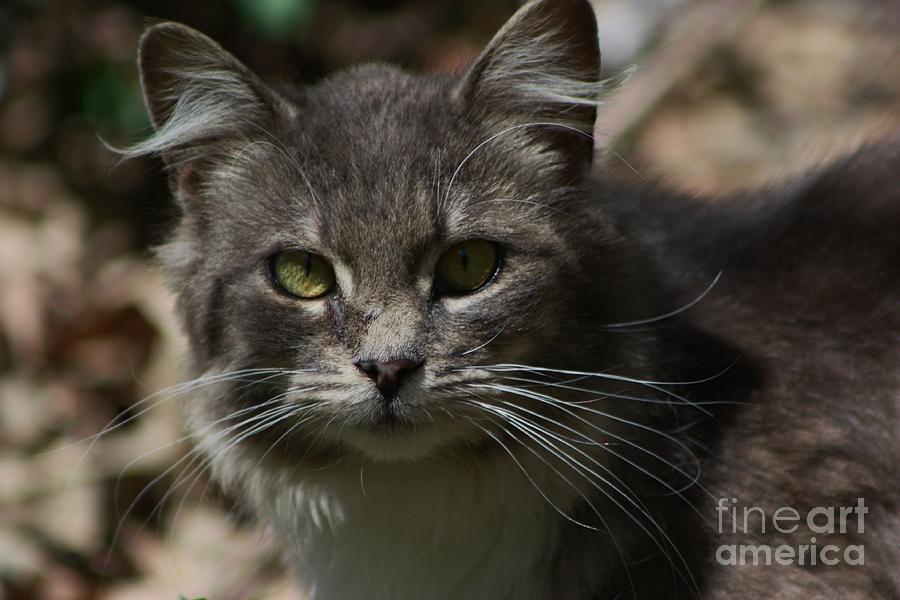 Cat Photograph - Green Eyed Kitty Cat by Robert D  Brozek
