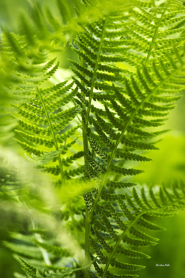Green Fern Photograph - Green Fern Art by Christina Rollo