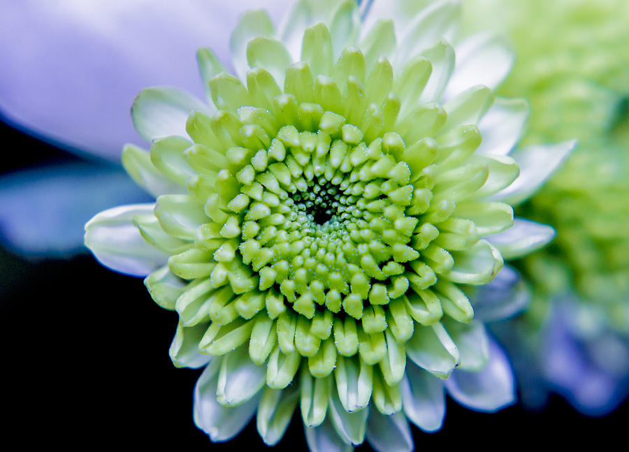 Flower Photograph - Green Flower by Amr Miqdadi
