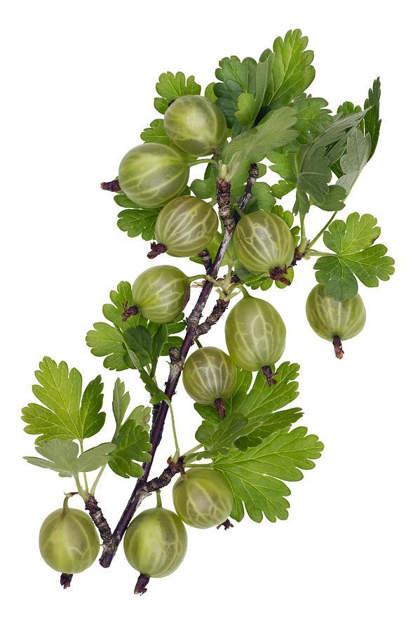 Green Photograph - Green Forest Berries by Aleksandr Volkov