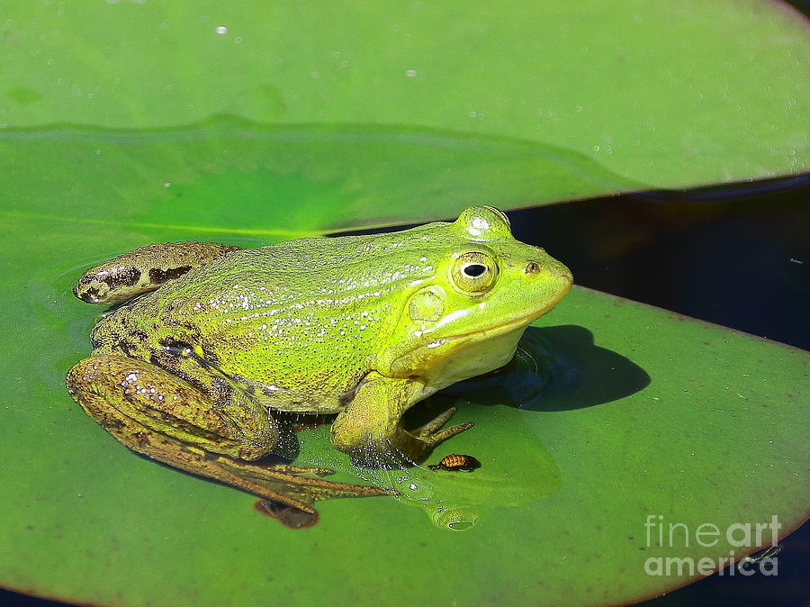 Frogs Photograph - Green Frog by Amanda Mohler