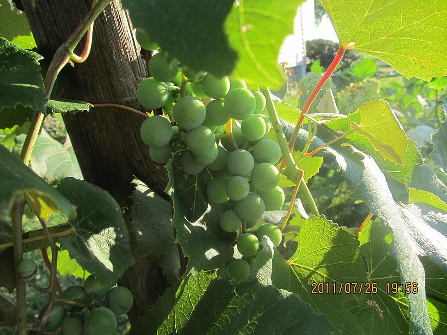 Grapes Photograph - Green Grapes by Tina M Wenger