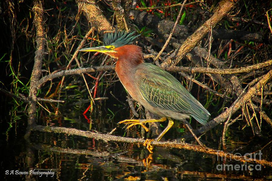 Green Heron Photograph - Green Heron Basking In Sunlight by Barbara Bowen