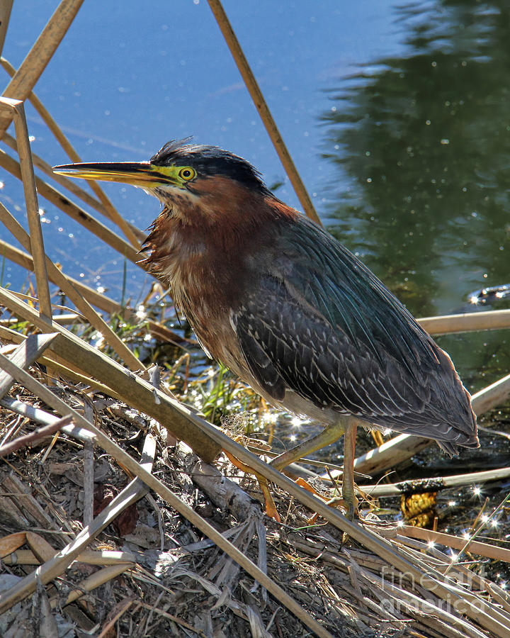 Green Heron Photograph - Green Heron  by Mariola Bitner