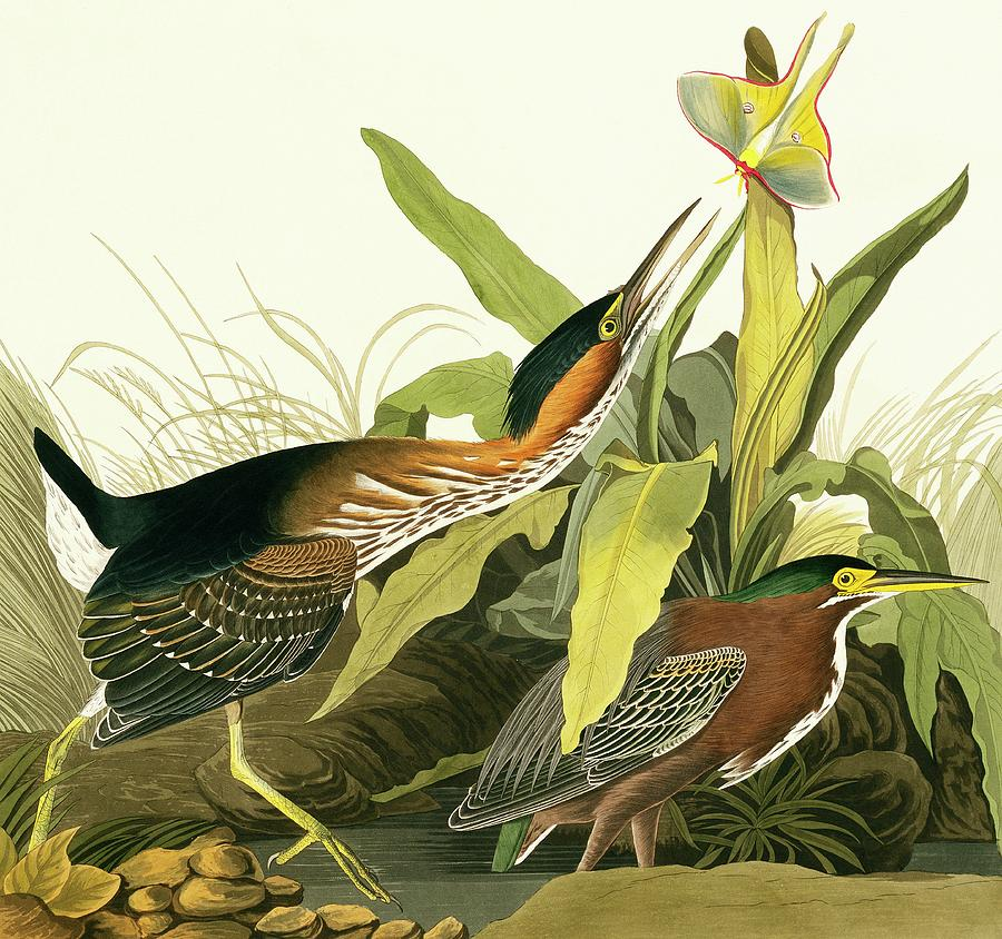 Illustration Photograph - Green Heron by Natural History Museum, London/science Photo Library