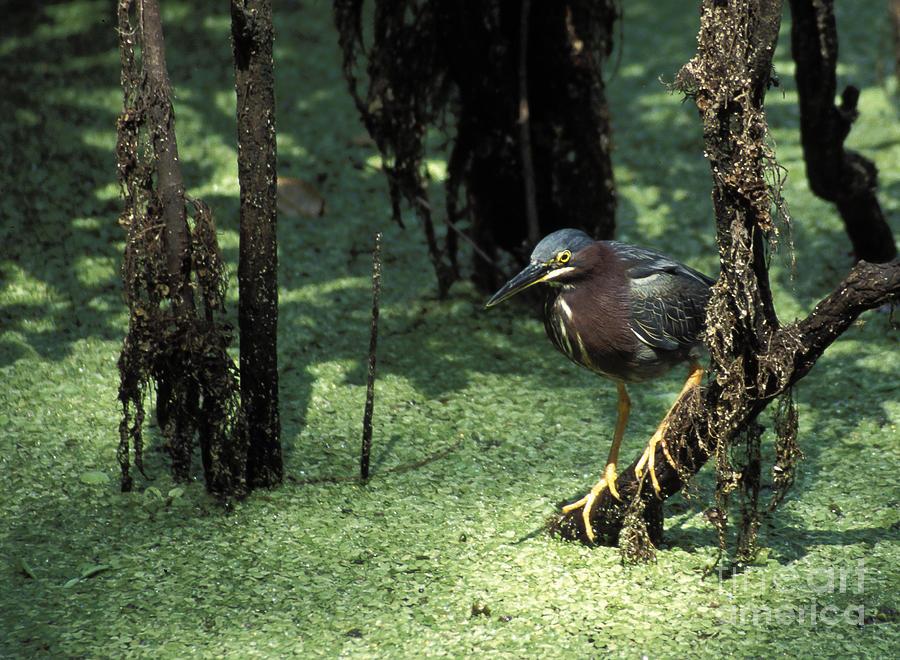 Birds Photograph - Green Heron by Steven Ralser