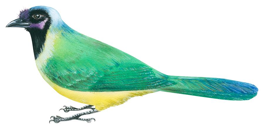 Jayhawk Drawing - Green Jay by Anonymous