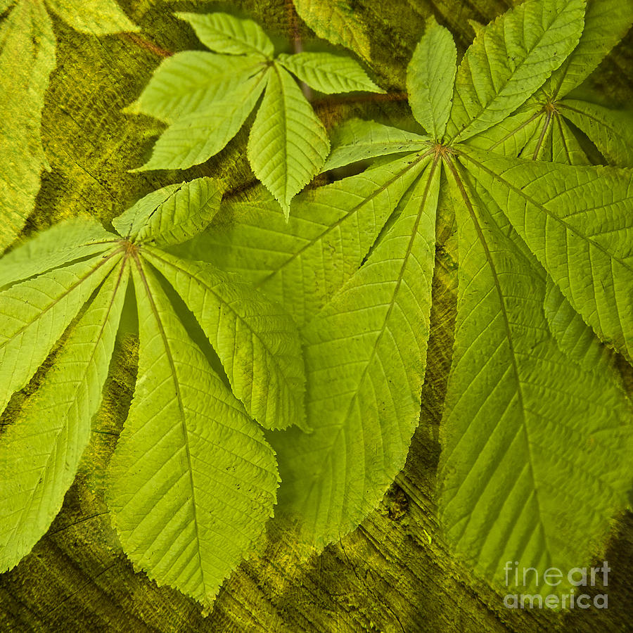 Leaf Photograph - Green Leaves Series by Heiko Koehrer-Wagner