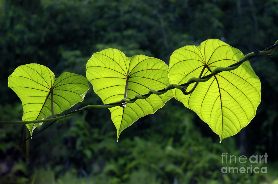 Green Leaves Photograph - Green Leaves by William Voon