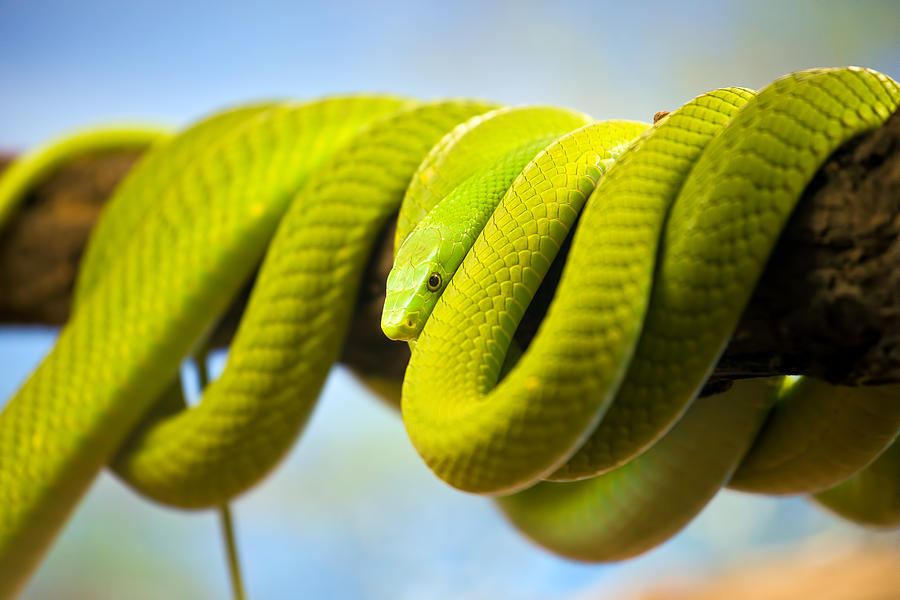 Green Photograph - Green Mamba Coiled Up On A Branch by Artur Bogacki