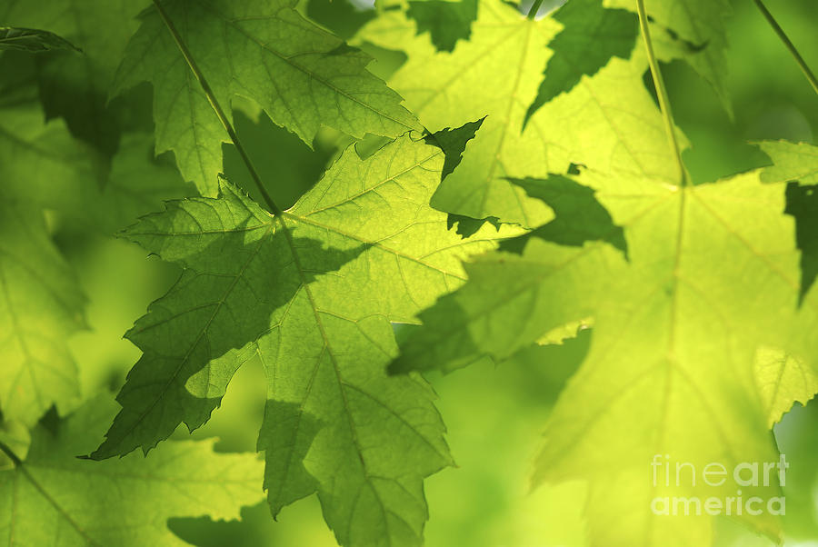 Leaf Photograph - Green Maple Leaves by Elena Elisseeva