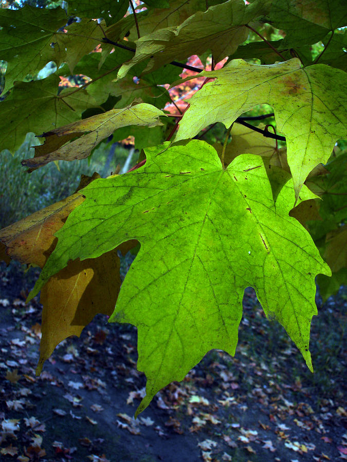 Nature Photograph - Green Maple Leaves by Michel Mata