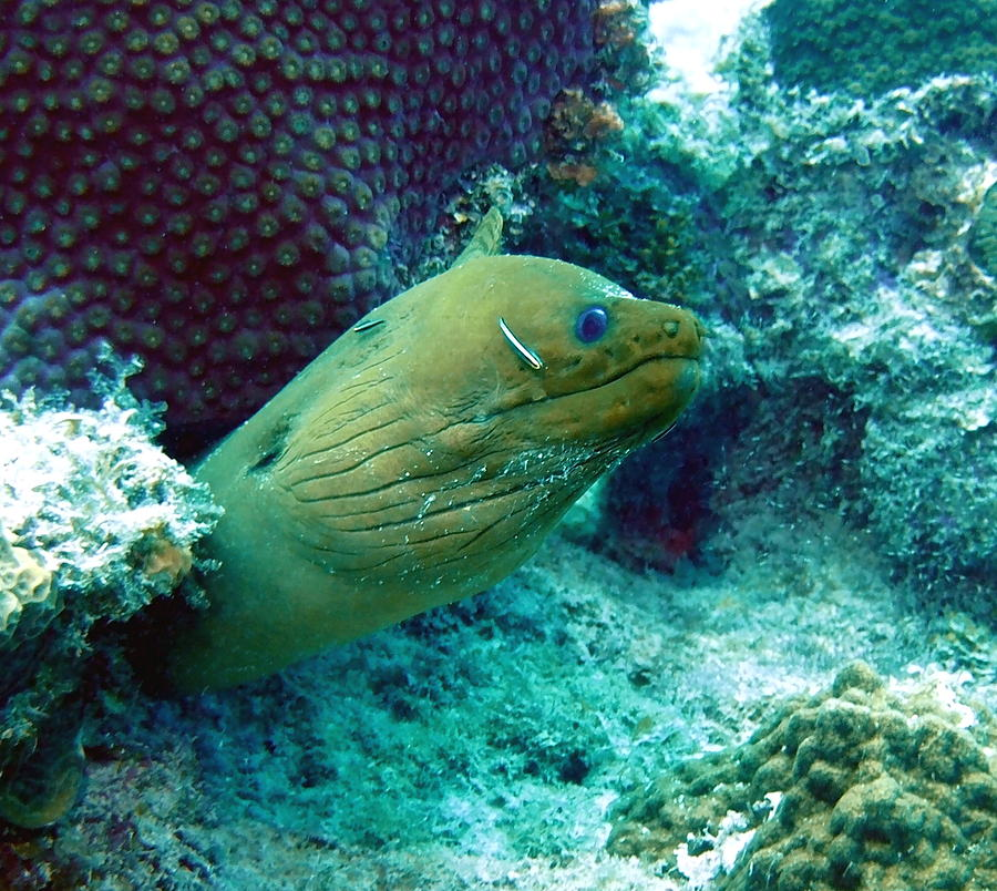Green moray eel with cleaning fish photograph by amy mcdaniel for Fish cleaning station near me