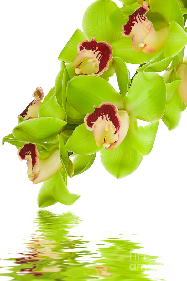Green Photograph - Green Orchid by Boon Mee