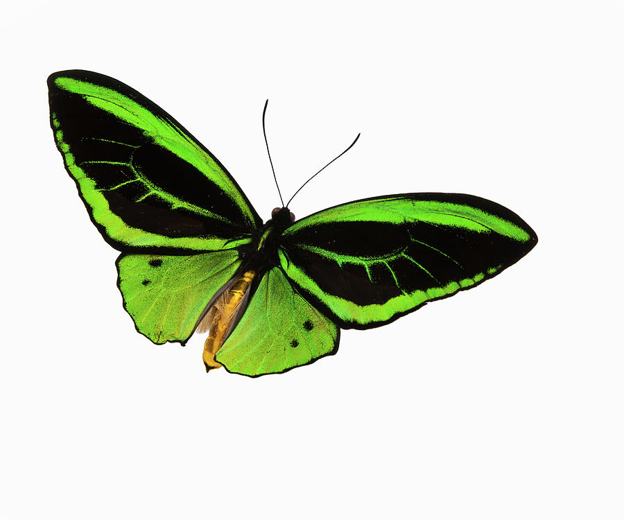 Green Patterned Butterfly Flying Photograph by Stanley45