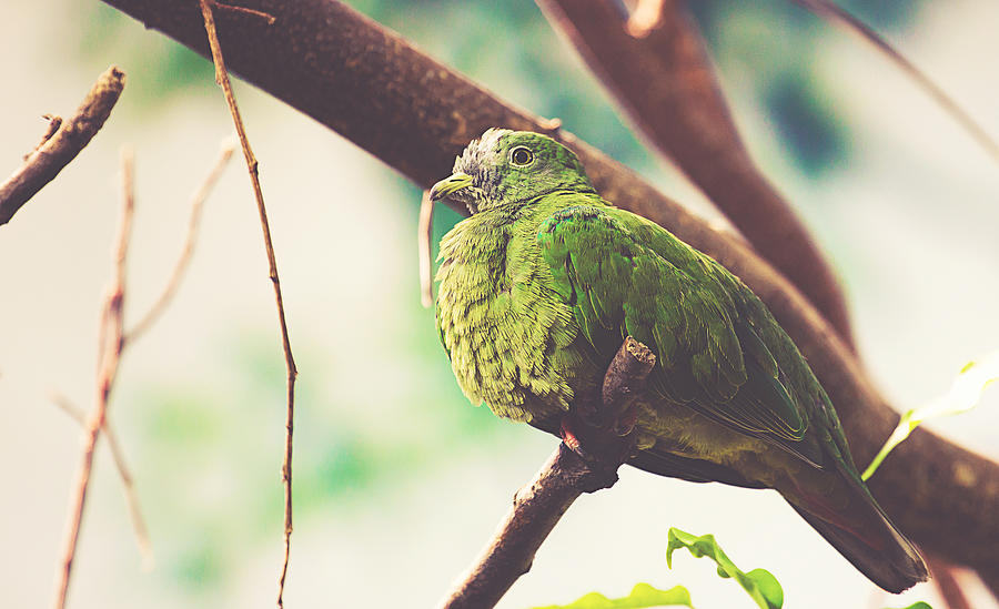 Wildlife Photograph - Green Pigeon by Pati Photography
