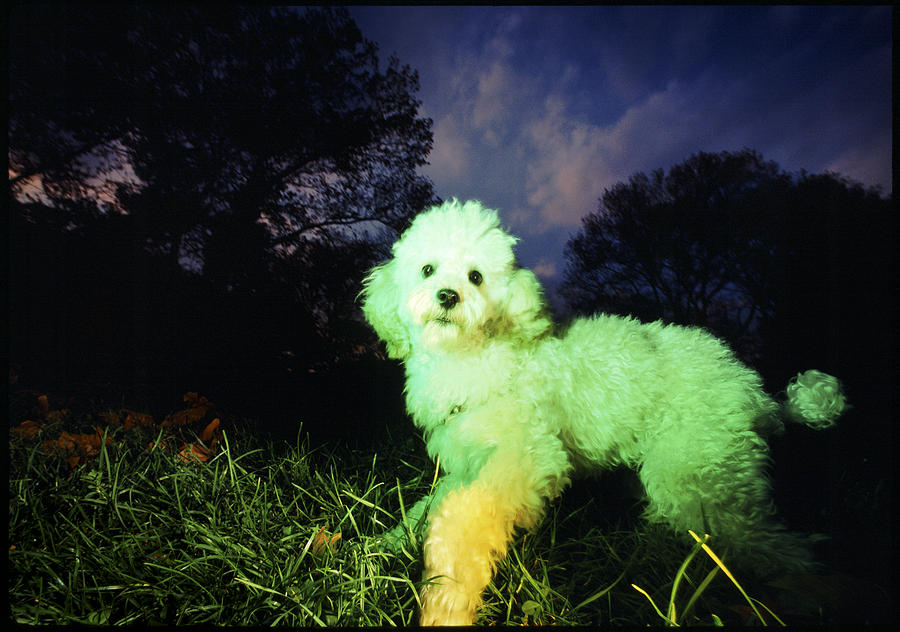 Animals Photograph - Green Poodle by Chip Simons
