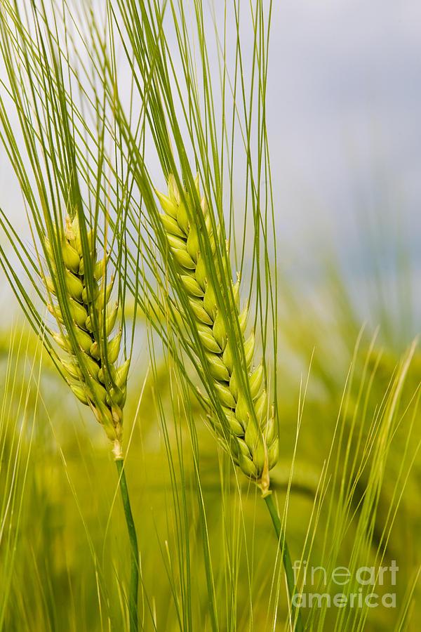 Green Photograph - Green Rye Beautiful by Boon Mee