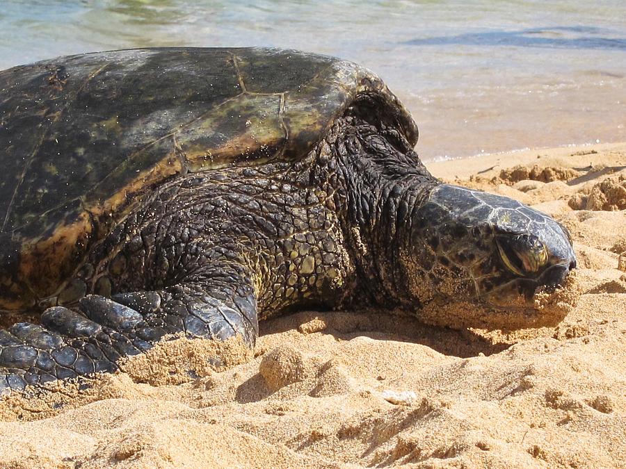 Green Sea Turtle 2 - Kauai by Shane Kelly