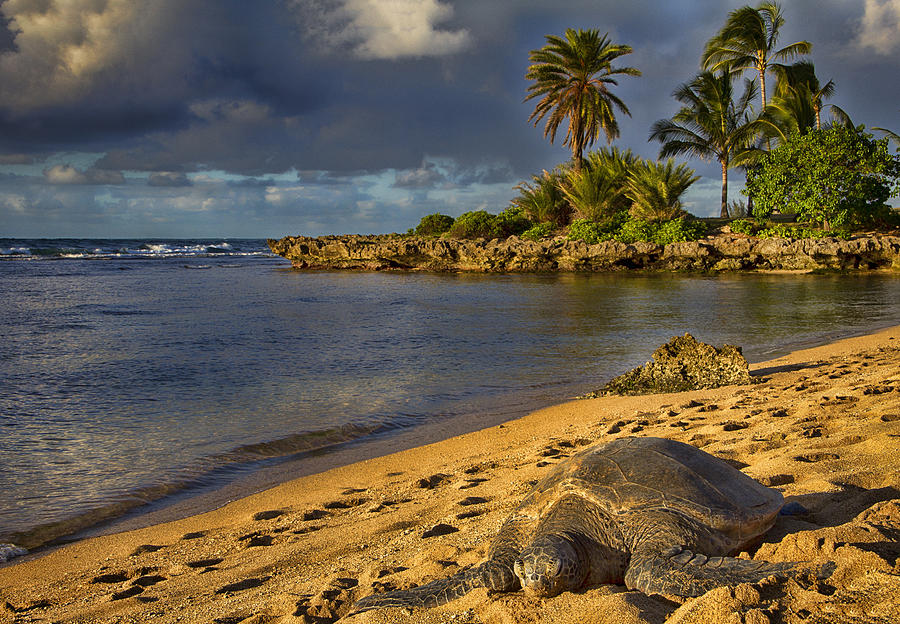 Green Sea Turtle Photograph - Green Sea Turtle At Sunset by Douglas Barnard