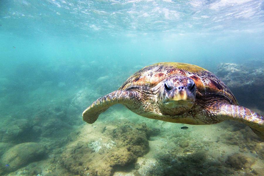 Green Sea Turtle Chelonia Mydas Photograph by Danilovi