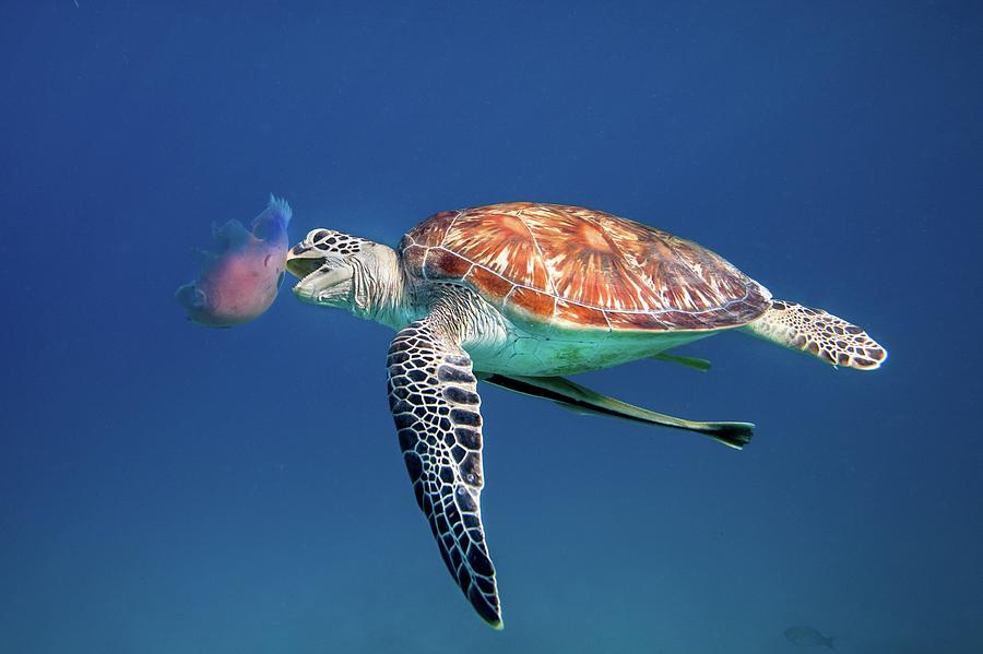 Green Sea Turtle Eating Jellyfish Photograph by Ai Angel Gentel