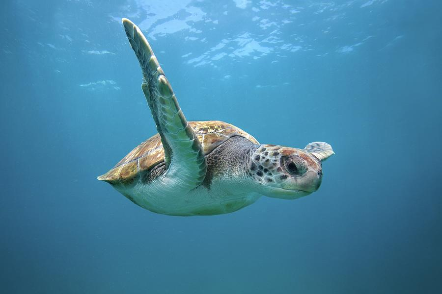Green Sea Turtle In Canary Islands Photograph by James R.d. Scott