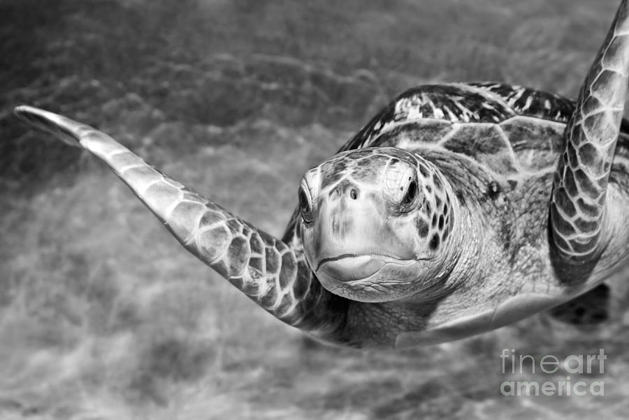 Green Sea Turtle Photograph - Green Sea Turtle. by Jamie Pham