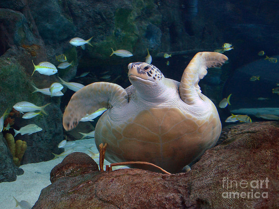 Aquatic Life Photograph - Green Sea Turtle by Kathy Baccari