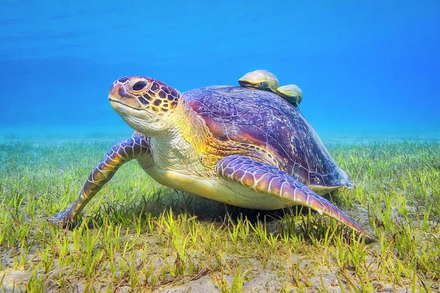 Green Sea Turtle Near Marsa Alam , Egypt Photograph by Cinoby