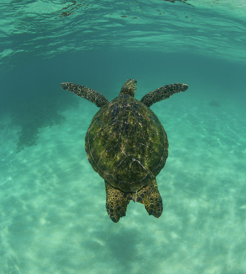 Vertical Photograph - Green Sea Turtle Swimming by Animal Images