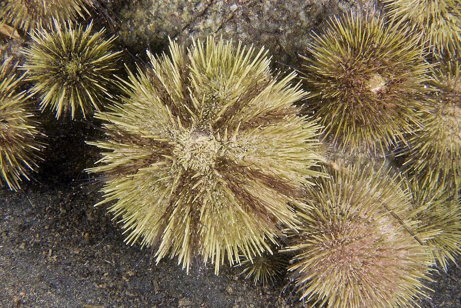 Green Sea Urchin Photograph - Green Sea Urchins by Andrew J. Martinez