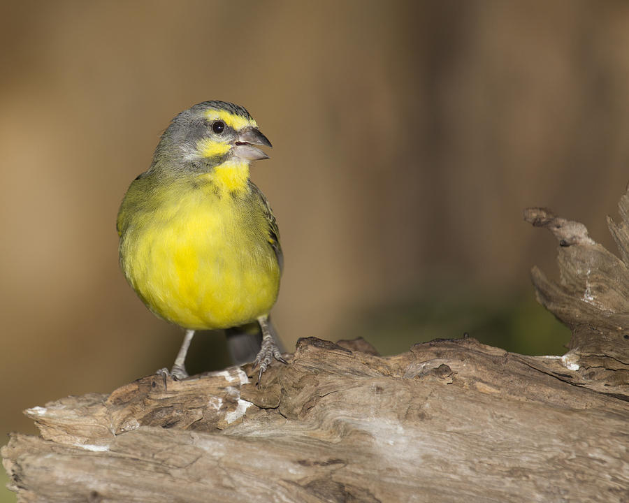 Aviary Photograph - Green Singing Finch by Gerald Murray Photography