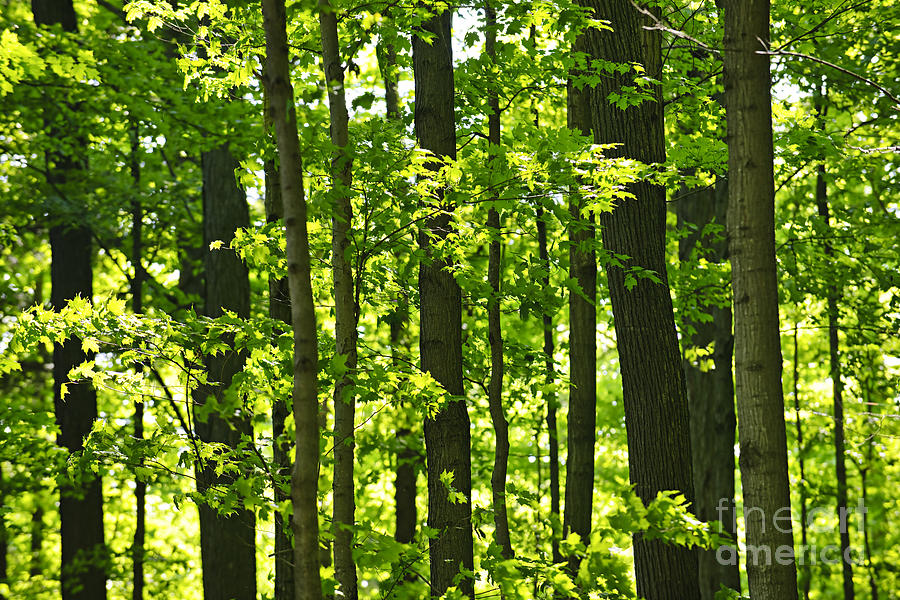 Forest Photograph - Green Spring Forest by Elena Elisseeva