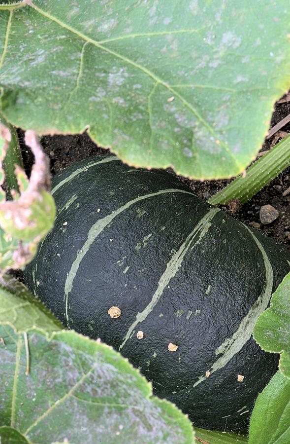 Nature Photograph - Green Striped Squash by Andrew Miles