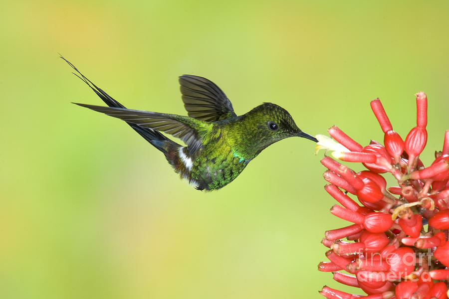 Animal Photograph - Green Thorntail Hummingbird by Anthony Mercieca