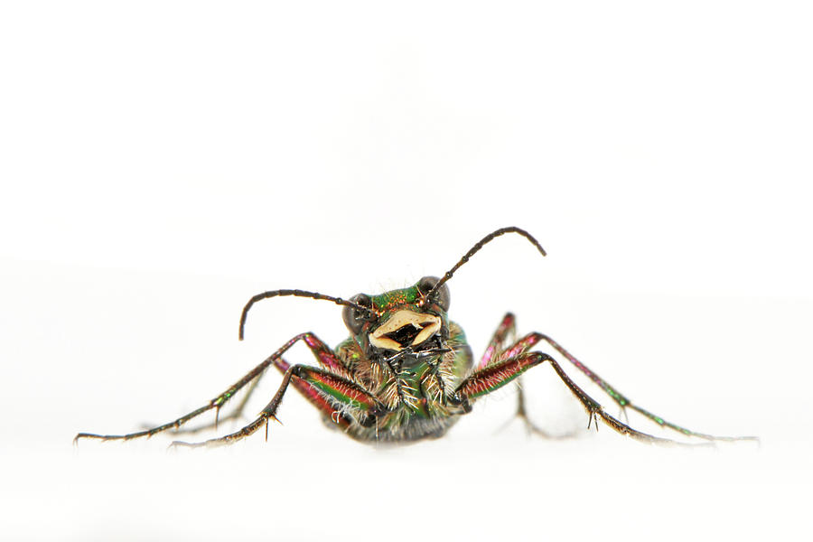 Green Tiger Beetle Photograph by Robert Trevis-smith
