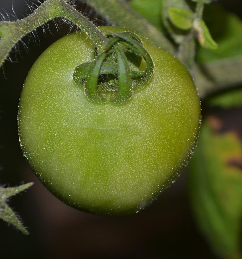 Tomato Photograph - Green Tomato by Michael Sokalski