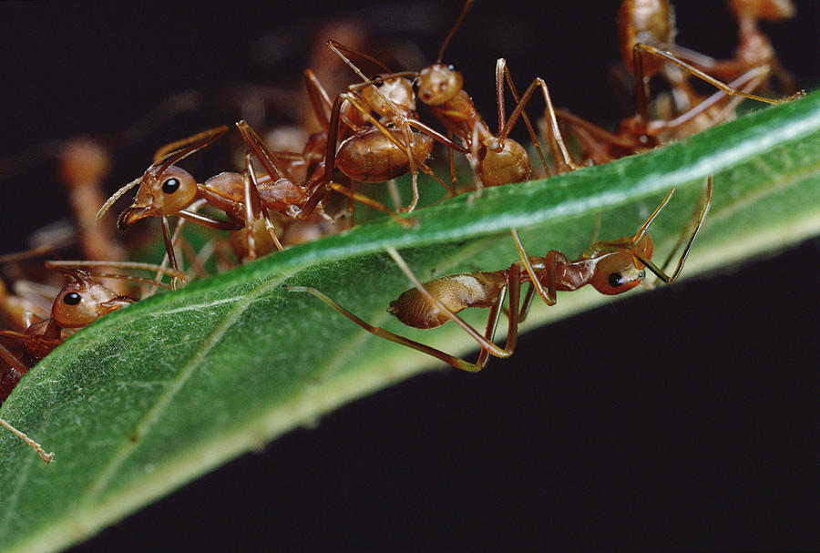 Green Tree Ants On Leaf Photograph by Mark Moffett