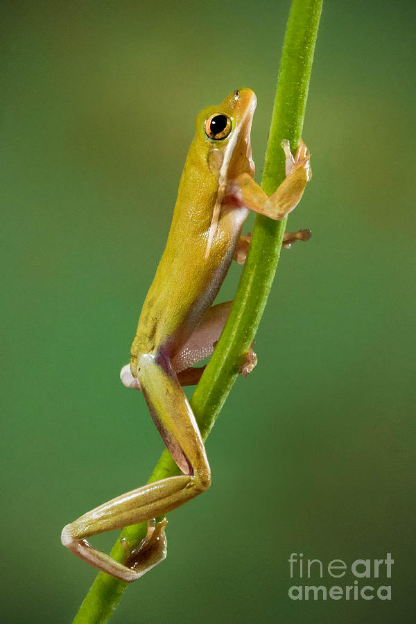 Green Tree Frog Climbing Photograph by Jerry Fornarotto