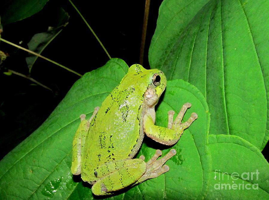 Green Tree Frog Photograph